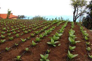 Plantacion de tabacos en Breña Alta, la Palma, cosecha de Puros Julio