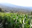 El cultivo del tabaco en La Palma