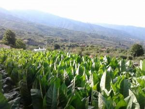 Plantacion de tabacos en la Palma, cosecha de Puros Julio