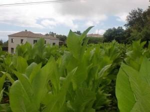 2plantacion_tabaco_lapalma_purosjulio
