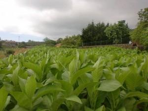 3plantacion_tabaco_lapalma_purosjulio