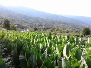 plantacion_tabaco_lapalma_purosjulio